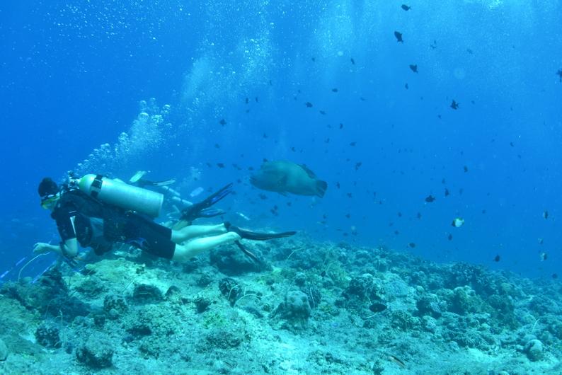 Palau-Blue Corner giant wrasse-s