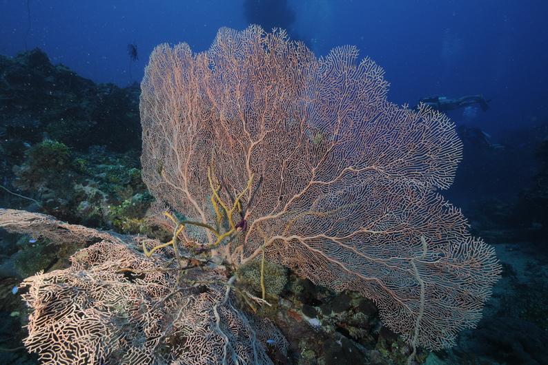 Chuuk Soft Coral-2s