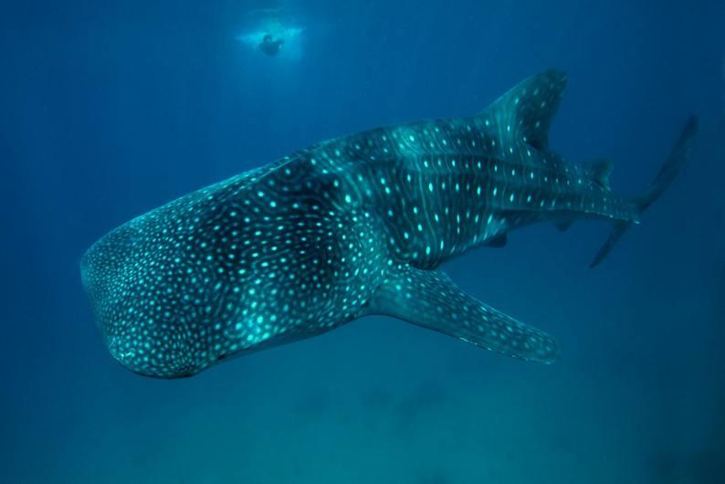 Dumaguete-whaleshark-s