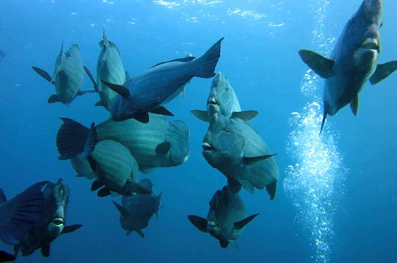 palau bumphead parrotfish