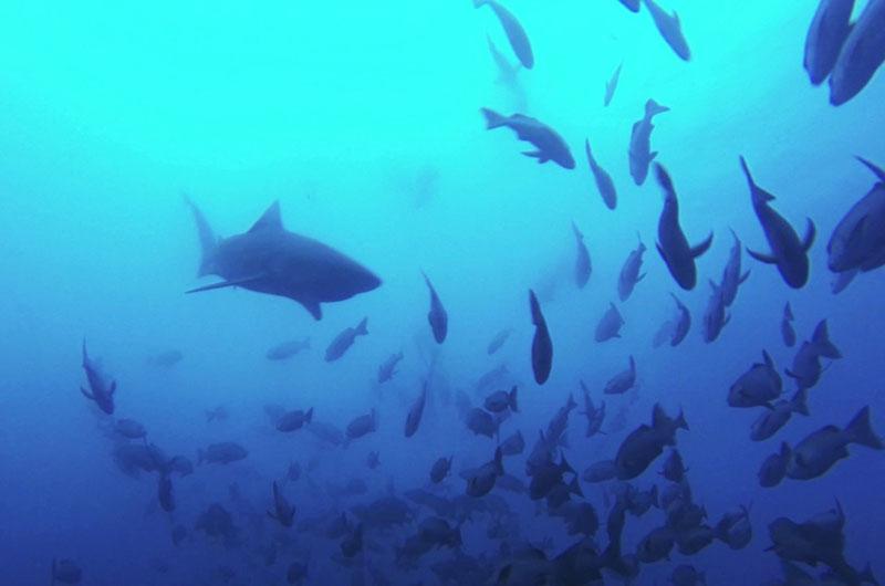 palau snapper spawning sharks pelagics