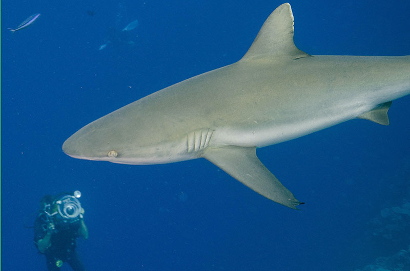 yap shark photographer 800x530