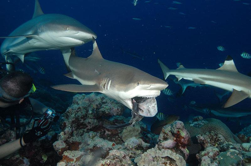 yap sharks 02 800x530