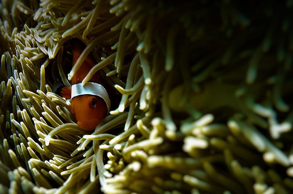 anemone fish-01 jong-marshes 800x530