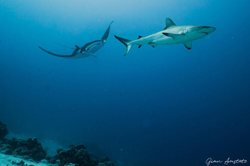Shark and manta in Palau