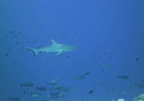 palau-shark